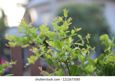 carandas, carissa, green, plant, thorn, nature, background, white, leaf, leaves, currant, bengal, sour, raindrops, food, natural, christs, garden, fruit, branch, herb, tree, color, l, young, red, summ