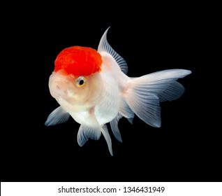 Carassius auratus,goldfish on black background with clipping path(tanjo)