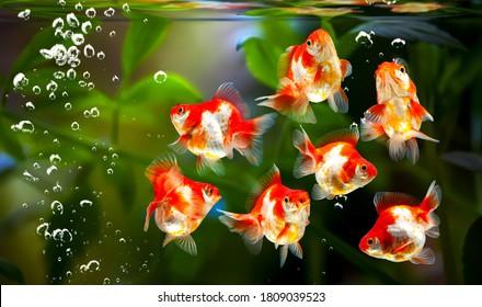 Carassius auratus,goldfish on nature background with