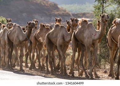 Caravan of camels, close up, Ethiopia