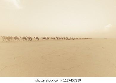A caravan of camels and donkeys carrying salt in Ethiopia, Afar region.