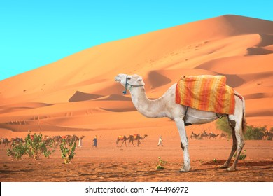 Caravan of camels in Sahara desert, Morocco. One white camel,  drivers-berbers with dromedary and sand dunes on blue sky background