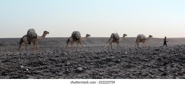 Caravan of camels with salt in Danakil depression desert