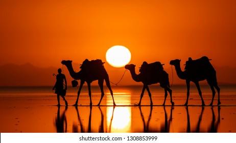 Caravan of camels transporting salt at sunrise