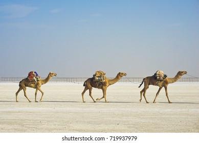 Caravan of Camels Walking in Line Transporting Salt Blocks between Hamed Ale hamlet and Lake Karum aka Lake Asale in Danakil Depression, Afar, Ethiopia