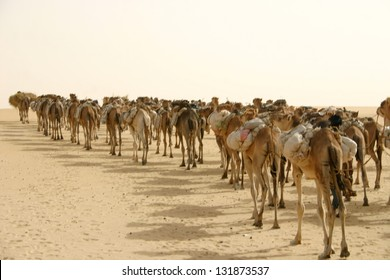 A caravan of dromedary camels hauls salt for Berber nomads in the Sahara desert of Mali, Africa