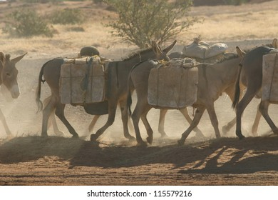 A caravan on donkeys hauls salt through the sahara desert of mali, on their way to the markets in Timbuktu.