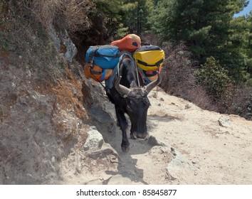Caravan yak on the trek near Namche Bazar - Nepal, Himalayas