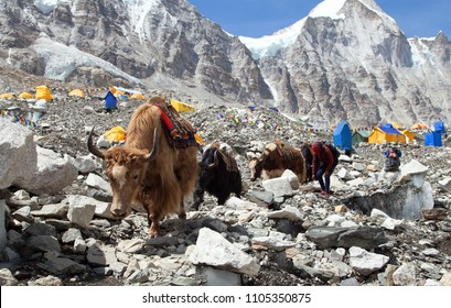 Caravan of Yaks in Everest base camp. Nepal himalayas mountains