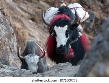 Caravan of yaks in the Nepal Himalaya. The yak (Bos grunniens and Bos mutus) is a long-haired bovid found throughout the Himalaya region of south Central Asia, Tibetan Plateau and Mongolia.