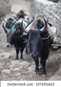 Caravan of yaks in the Nepal Himalaya. The yak is a long-haired bovid found throughout the Himalaya region of south Central Asia, Tibetan Plateau and Mongolia.