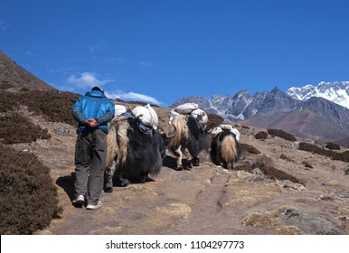 Caravan of yaks in the Nepal Himalaya. The yak is a long-haired bovid found throughout the Himalaya region of south Central Asia, Tibetan Plateau and Mongolia