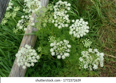 Caraway plant (Carum carvi) in full bloom on mountain trail.