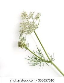 Caraway; True; Carum carvi