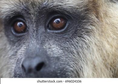 Caraya Monkey