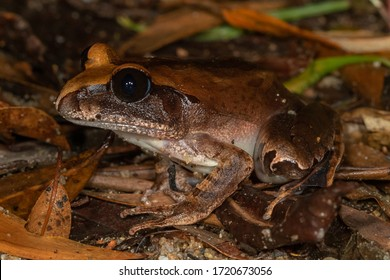 Carbine Barred Frog (Mixophyes carbinensis). Mt Lewis, Queensland, Australia.