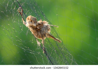 Carcass of dead sparrow on bird trapping net