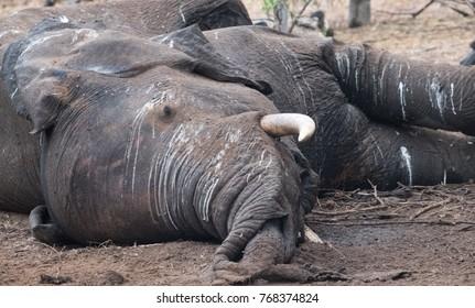 Carcass of an elephant killed by lions, Chobe National Park, Botswana