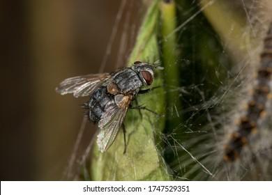 Carcelia iliaca (Diptera, Tachinidae) stalking an oak processionary caterpillar (Thaumetopoea processionea) in Belgium