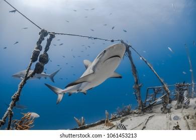 carcharhinus amblyrhynchos grey reef shark swim along a wreck in blue ocean of Bahamas