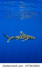 Carcharhinus longimanus shark with pilot fishes crusing  early morning in the deep French Polynesia waters