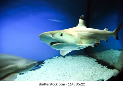Carcharhinus melanopterus - one of the species of Requiem sharks, commonly known as blacktip reef shark