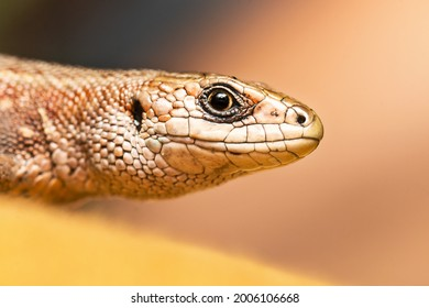 Card with face of brown lizard isolated on the magic pastel yellow background.Macro portrait of lizard in wildlife close up.Funny reptile in natural habitat.Copy space for text.Happy World Animal Day