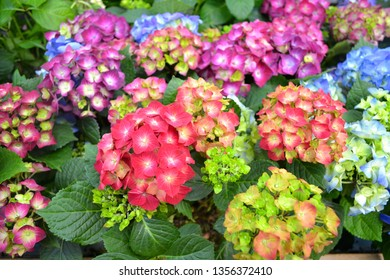 card texture of hydrangea of mix colors: blue, pink, violet, red and wine hydrangea japon macrophylla