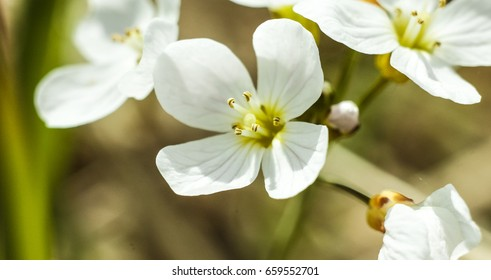 Flowers macro ez canvas cardamine paratensis white with four petals flowers in thailand mightylinksfo