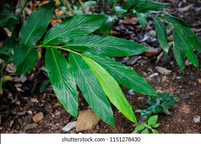 Cardamom green leaves at Soi Dao district, Chanthaburi province, Thailand.