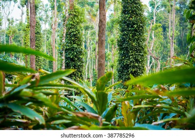 Cardamom plantation - cardamom leaves (in the foreground) and black pepper plants wrapped trees (Kumily, Kerala, India)