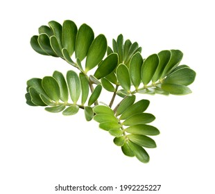 Cardboard palm or Zamia furfuracea or Mexican cycad leaf, Tropical foliage isolated on white background, with clipping path                             - Shutterstock ID 1992225227