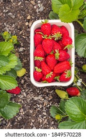 cardboard punnet with ripe strawberries and strawberry plants growing in organic garden