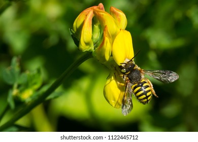 Carder Bee collecting nectar from a yellow Birdsfoot Trefoil flower. Todmorden Mills Park, Toronto, Ontario, Canada.