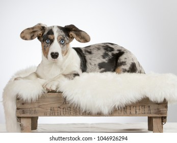 Cardican welsh corgi puppy on an antique wooden box. Funny dog, big ears and blue eyes.