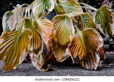 Hosta Yellow Leaves Images Stock Photos Vectors Shutterstock