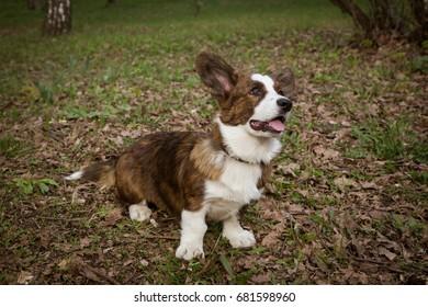 Cardigan Corgi on the grass
