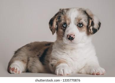 Cardigan puppy merle