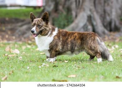 cardigan welsh corgi standing in the grass