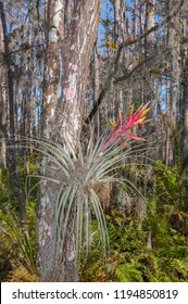 Cardinal Airplant with flower on cypress tree