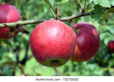 Cardinal Bea, Apple, malus, domestica