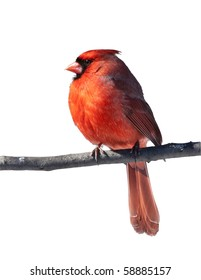 Cardinal Bird Male - one of the most beautiful birds in the North American woods. His plumage may vary from a pale orange to bright red.