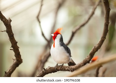 Cardinal bird with red-crested or Paroaria Coronata