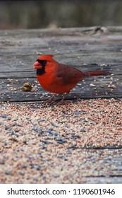 Cardinal Eating Birdseed