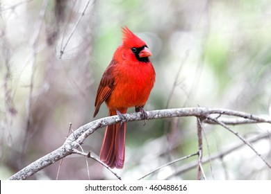 Cardinal facing front right