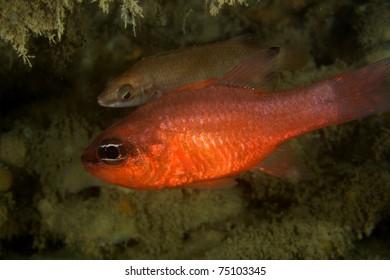 Cardinal fish (Apogon imberbis) shot in Algarve, Portugal.