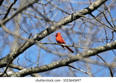 A cardinal perched in a birch tree