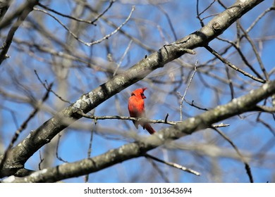 A cardinal perched in a birch tree wind blowing it's plume feathers up
