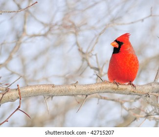 Cardinal perched on a branch.