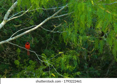 A cardinal rests upon a mesquite tree